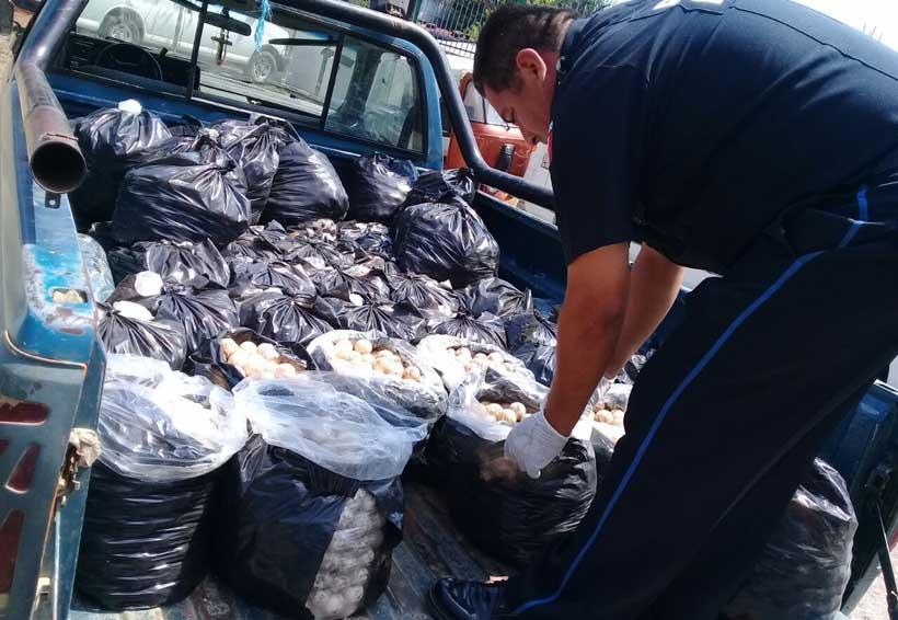 Recuperan huevos de tortuga en el Istmo de  Oaxaca