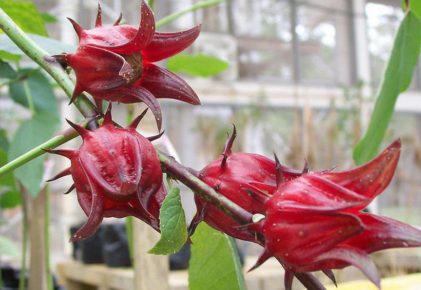 Innovación mexicana: desinfectante hospitalario de flor de jamaica | El Imparcial de Oaxaca