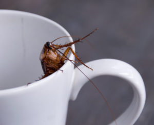 Leche de cucaracha, más nutritiva que la leche de vaca