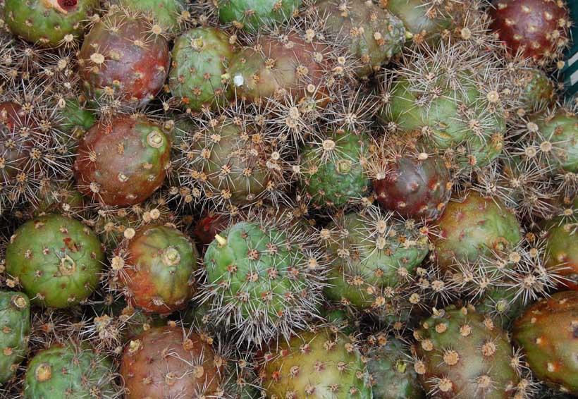 Exportarán pitayas  de la Mixteca a EU
