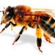 Abejas la naturaleza  depende de un insecto