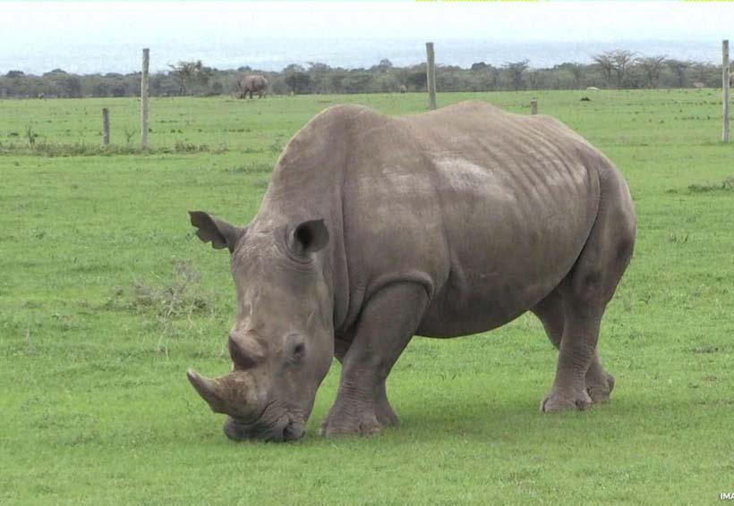 Podría volver a la vida el extinto rinoceronte blanco | El Imparcial de Oaxaca