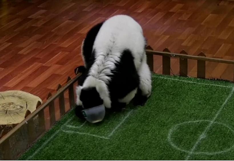 Video: Spartak, el lemur profeta del Mundial | El Imparcial de Oaxaca
