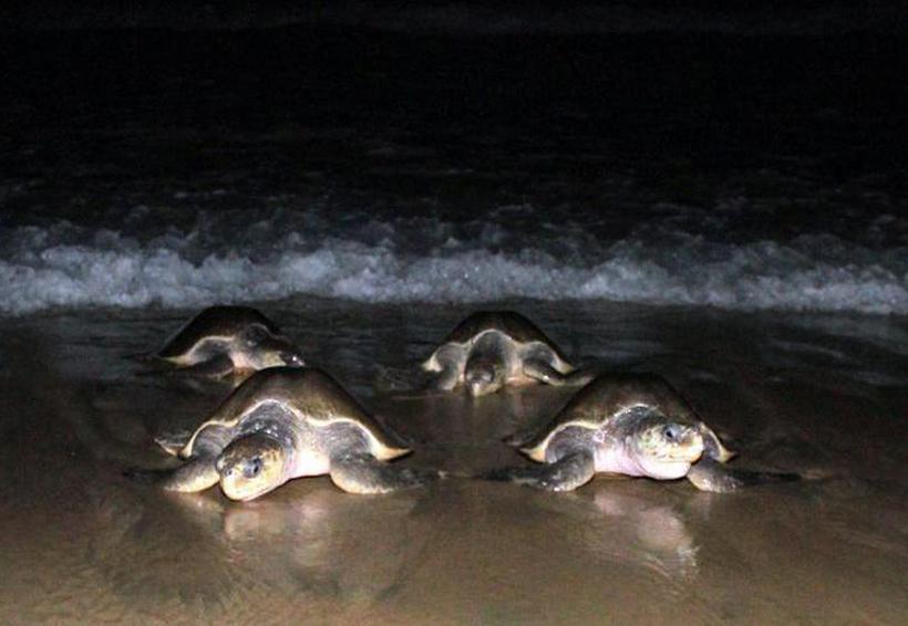 Protegen a más de 16 mil  tortugas en Playa Escobilla, Oaxaca | El Imparcial de Oaxaca