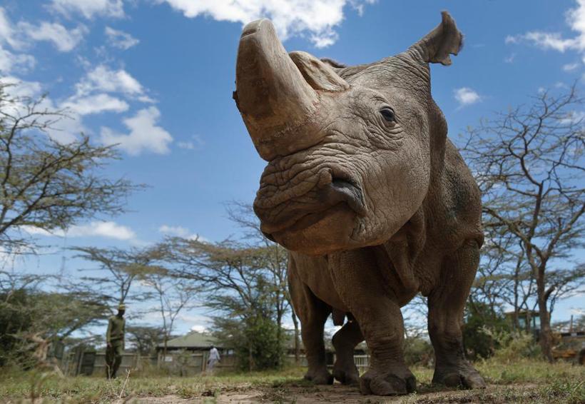 Embriones de laboratorio podrían salvar al rinoceronte blanco de la extinción | El Imparcial de Oaxaca