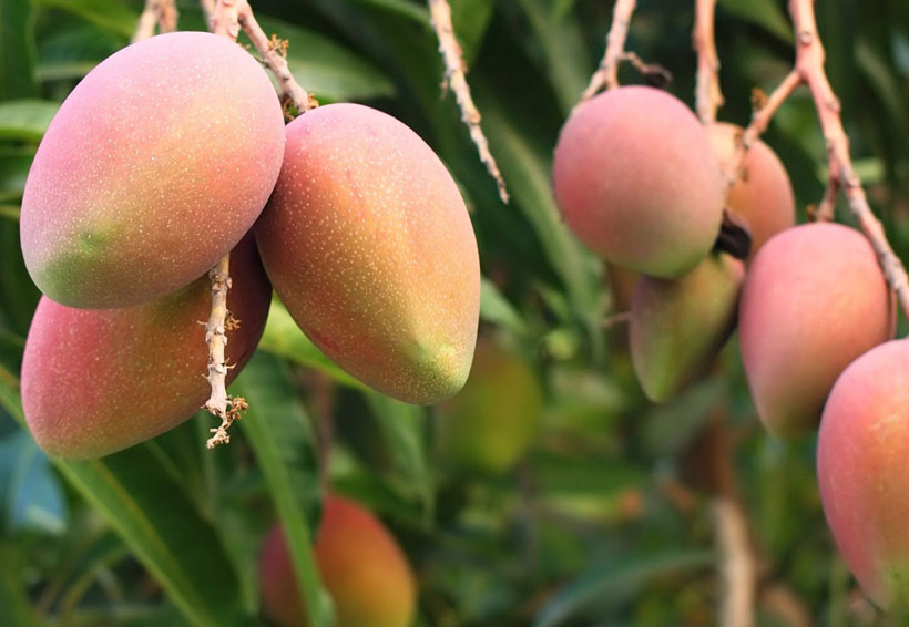 En Oaxaca crece exportación de mango a EU | El Imparcial de Oaxaca