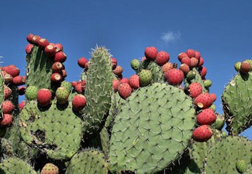La jiotilla y xoconostle,  fortalecidos en la región de la Mixteca
