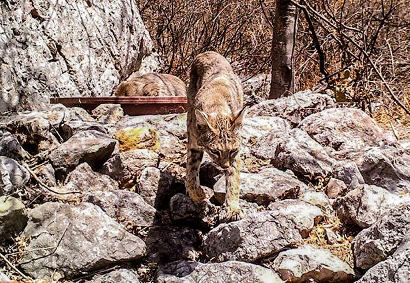 Reproducción de felinos se mantiene en la Mixteca