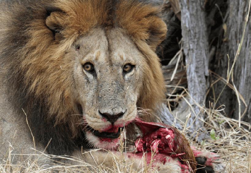 Cazadores que querían mutilar a un rinoceronte fueron devorados por leones | El Imparcial de Oaxaca