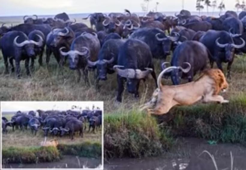 Video: León mata a un búfalo y el resto de la manada toma venganza | El Imparcial de Oaxaca