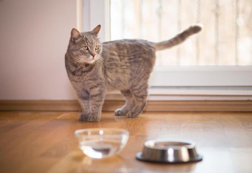 Los gatos podrían sufrir anorexia por estas razones | El Imparcial de Oaxaca