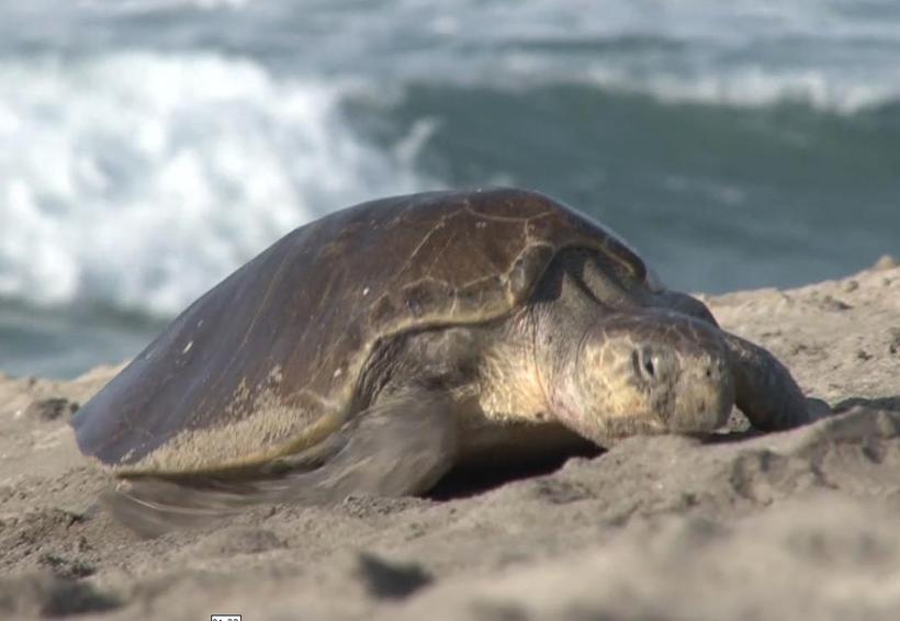 Inicia arribazón de la tortuga Golfina en playas de la costa de Oaxaca | El Imparcial de Oaxaca