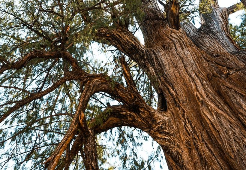 """""""Ahuehuete de Moctezuma""""  con más de 1500 años, el segundo árbol más viejo de Oaxaca"""