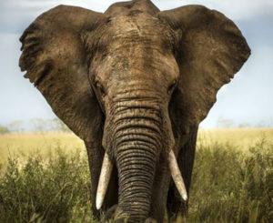 La función de la trompa de los elefantes que tal vez no conocías