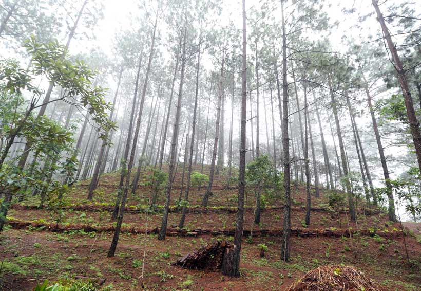 Mediante silvicultura combaten la tala ilegal de los bosques