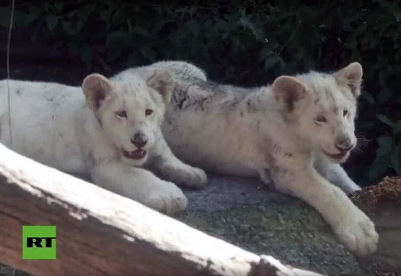 Video: Un zoo mexicano presenta dos cachorros de león blanco | El Imparcial de Oaxaca