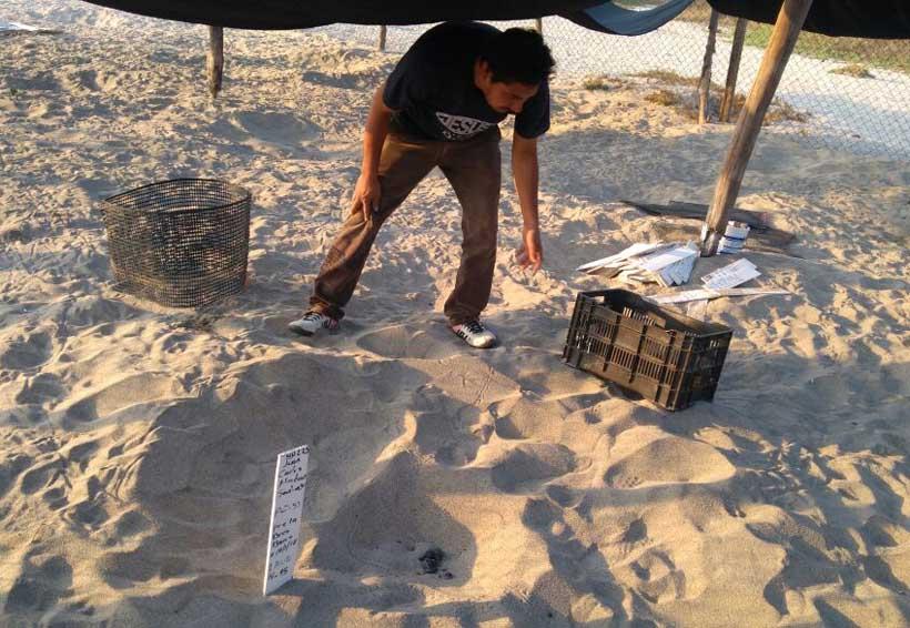 Centro Mexicano de la Tortuga niega riesgo para tortuga por temperatura