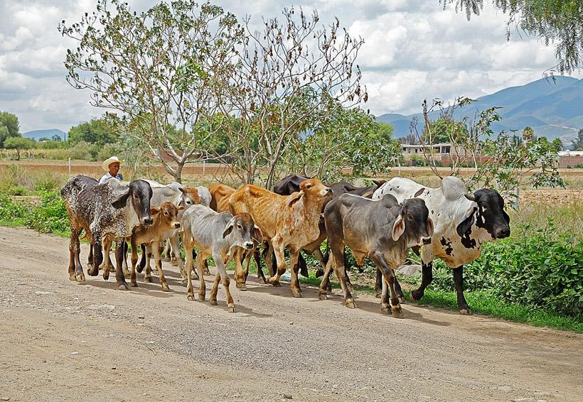 Preocupa a ganaderos istmeños un brote de tuberculosis bovina | El Imparcial de Oaxaca