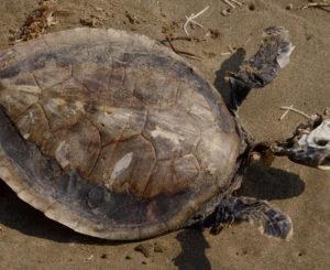 Aparecen más tortugas muertas en Chiapas