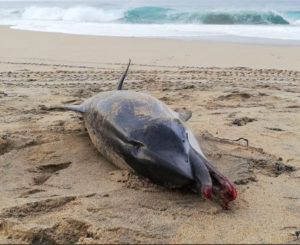 Muere delfín en playas de Oaxaca