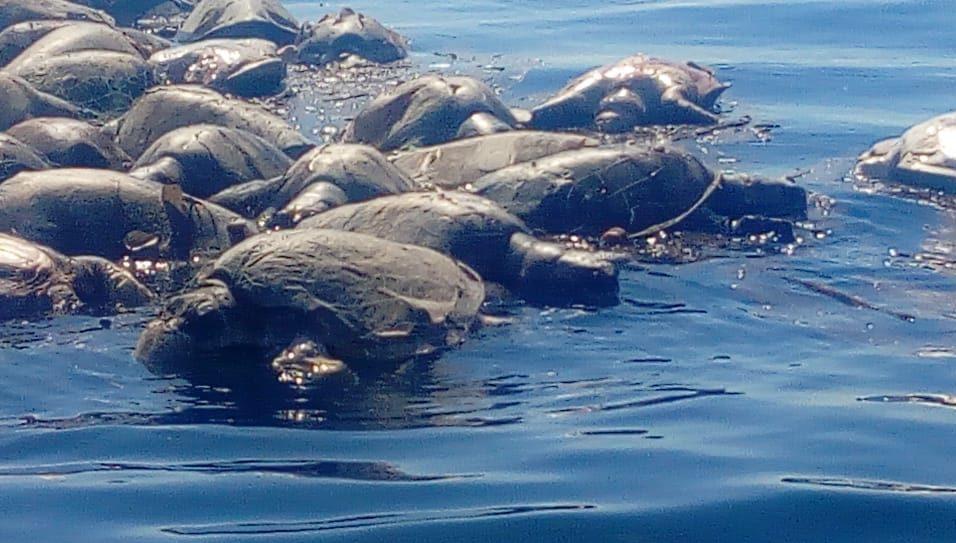 Trasmallos atuneros asesinan a cientos de tortugas en costas de Oaxaca | El Imparcial de Oaxaca