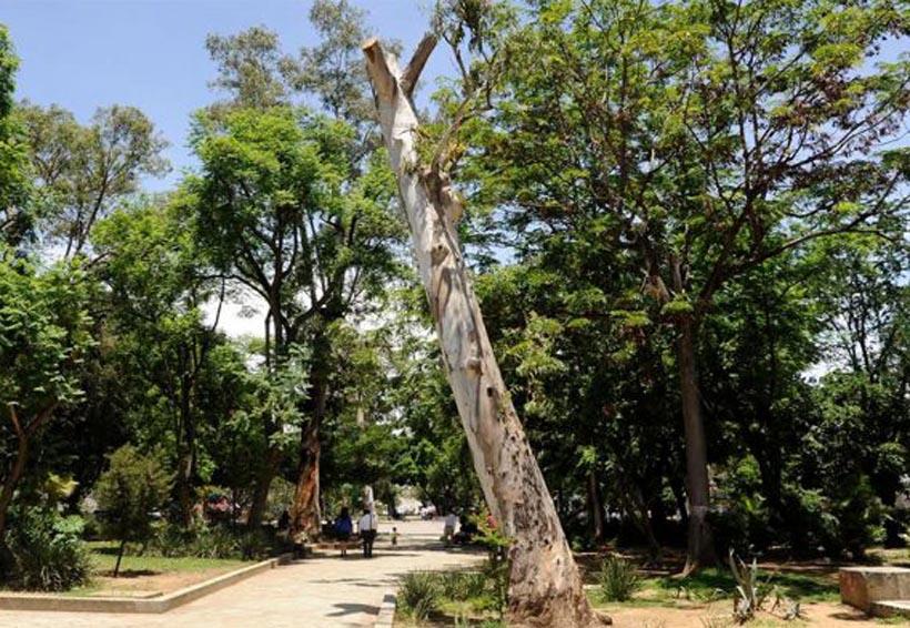 Reportan fuerte problema de  plagas en árboles de la ciudad de Oaxaca | El Imparcial de Oaxaca