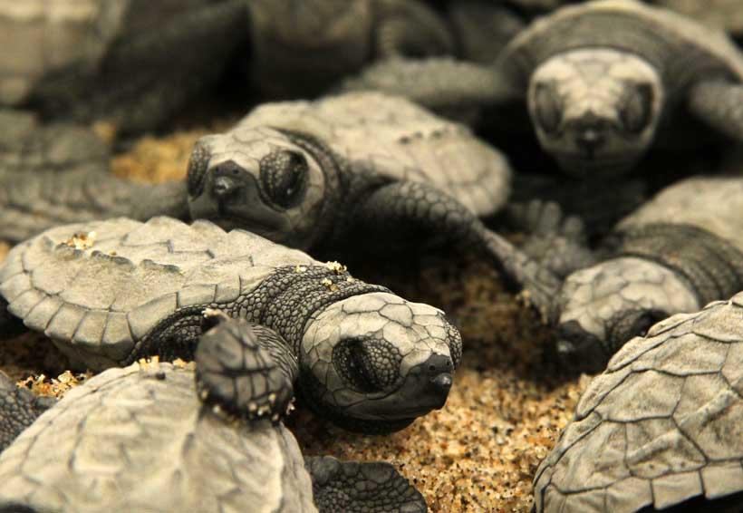 Las Tortugas Marinas en  peligro inminente en Oaxaca