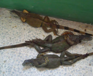 Aseguran cargamento ilegal de iguanas en Huamelula, Oaxaca