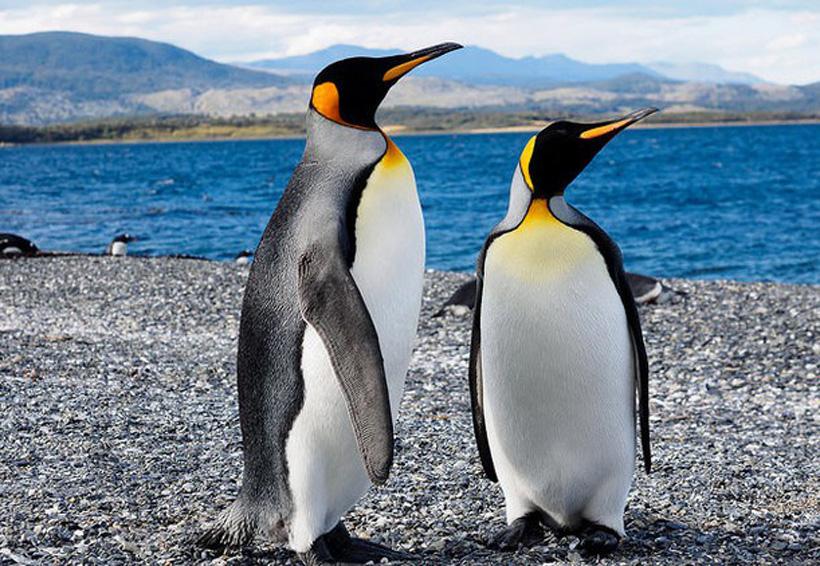 Colonia de pingüinos rey se está extinguiendo | El Imparcial de Oaxaca