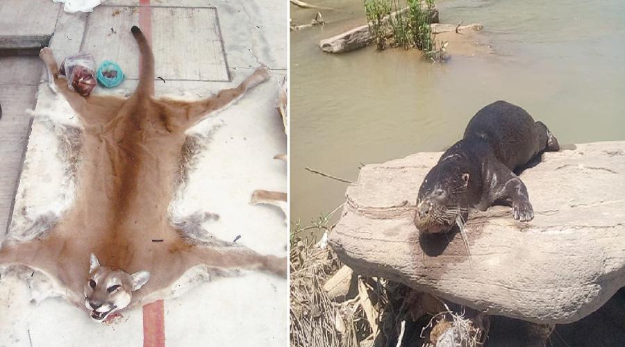 Genera descontento muerte de  nutria en Santiago Quiotepec | El Imparcial de Oaxaca