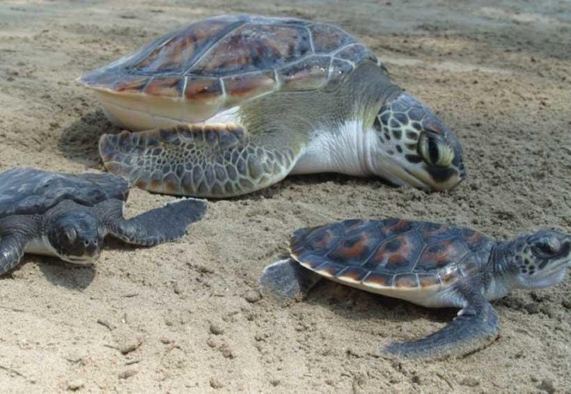 Impulsan polígono para  proteger a tortuga marina en Tonameca | El Imparcial de Oaxaca