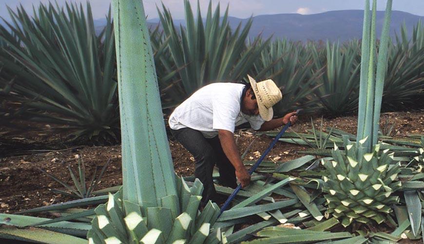 Cinco estrategias a frenar DOM de mezcal otorgadas a otros estados | El Imparcial de Oaxaca