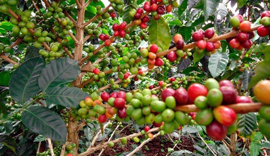 Plan Nescafé no es la solución a la problemática del sector: CEPCO | El Imparcial de Oaxaca