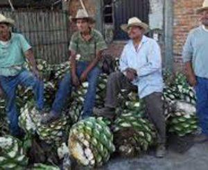 Mezcaleros  en Oaxaca interponen controversia  ante la SCJN