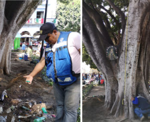Intervienen el Laurel del zócalo de Oaxaca