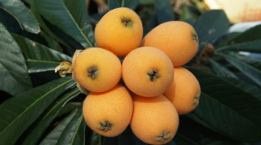 Níspero, la fruta que ayuda en el control del colesterol | El Imparcial de Oaxaca