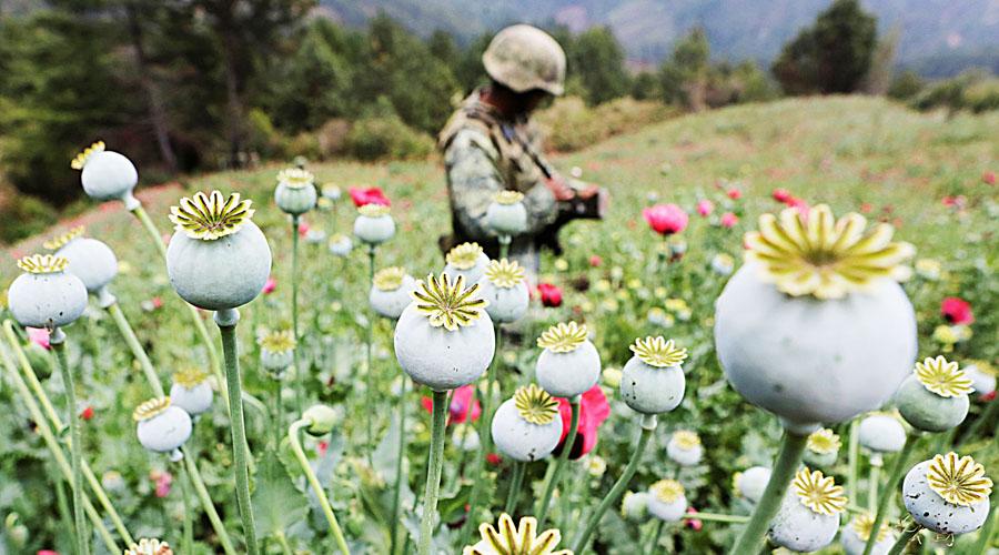 Despenalización de amapola sería asunto de salud pública | El Imparcial de Oaxaca