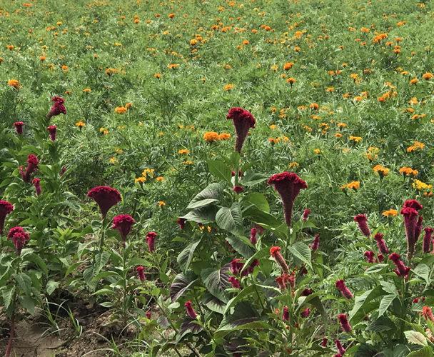 Siembra de flor de muertos en peligro por falta de agua