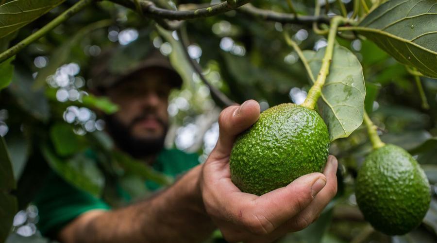 México lleva ante la OMC conflicto de aguacate con Costa Rica   El Imparcial de Oaxaca