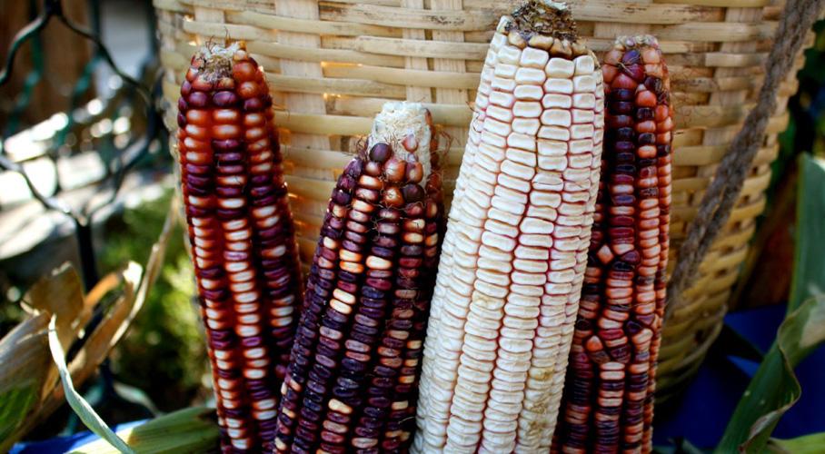 Universidades de EUA y empresa trasnacional se piratean el maíz de Oaxaca, dicen que lo 'descubrieron' | El Imparcial de Oaxaca