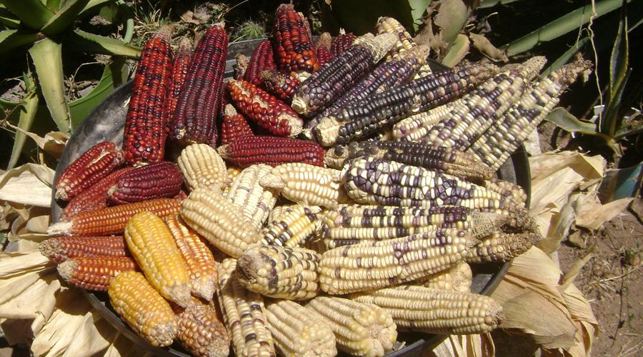 Empresa norteamericana roba especie de maíz nativo de Oaxaca | El Imparcial de Oaxaca