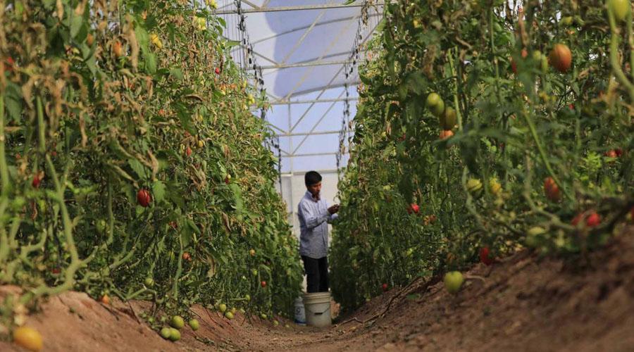 Impulsan venta de tomate de Oaxaca en Canadá