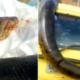 Video: Cazan una anaconda y la pasean por la calles