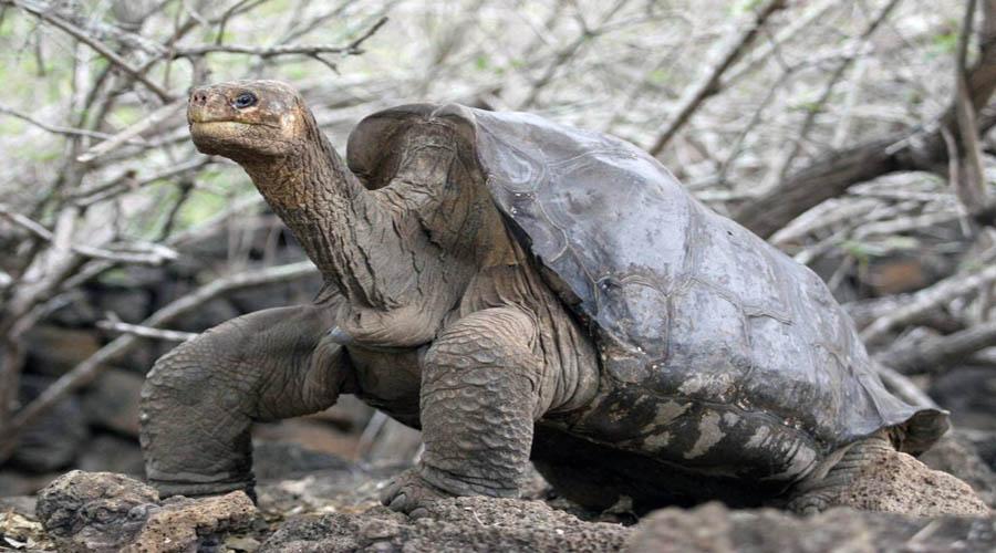 Jorge, famosa tortuga gigante podría tener la clave sobre la longevidad. | El Imparcial de Oaxaca
