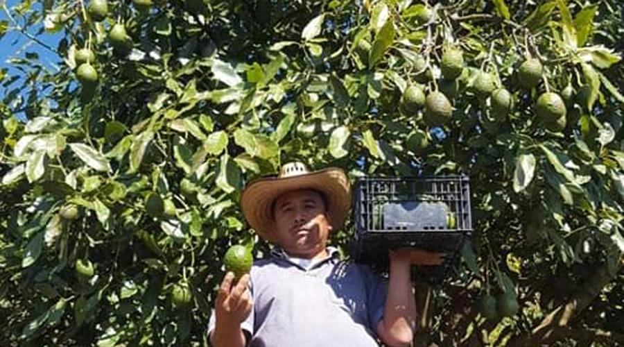 Buscan potencializar  el cultivo de aguacate  en la Mixteca de Oaxaca | El Imparcial de Oaxaca