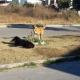 Aseguran en la Mixteca que no hay  ataques de perros