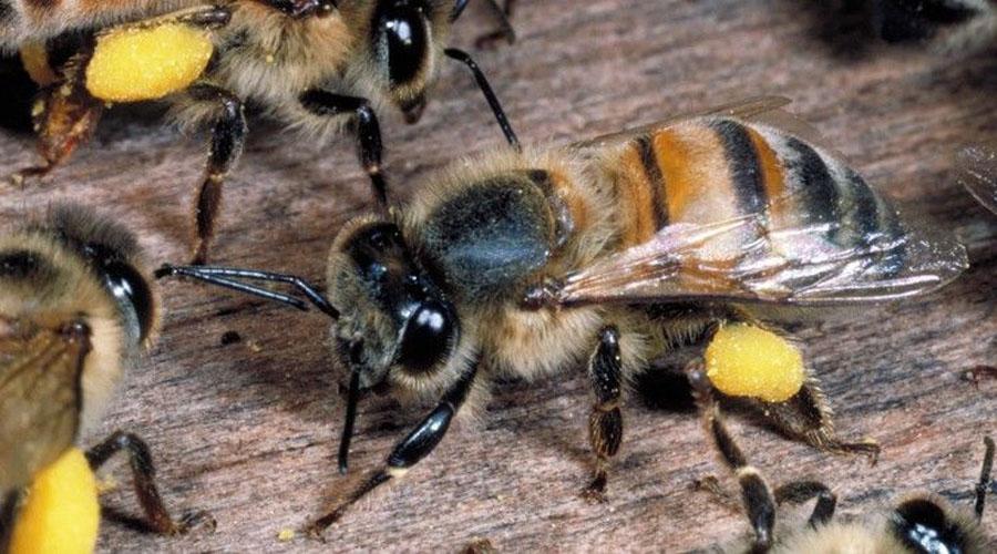 Se incrementan ataques de abejas africanas en el Istmo | El Imparcial de Oaxaca