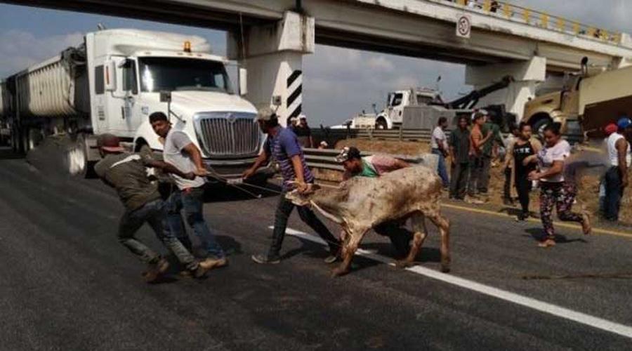 Video: Rapiñan ganado y lo someten con brutalidad en carretera de Veracruz | El Imparcial de Oaxaca
