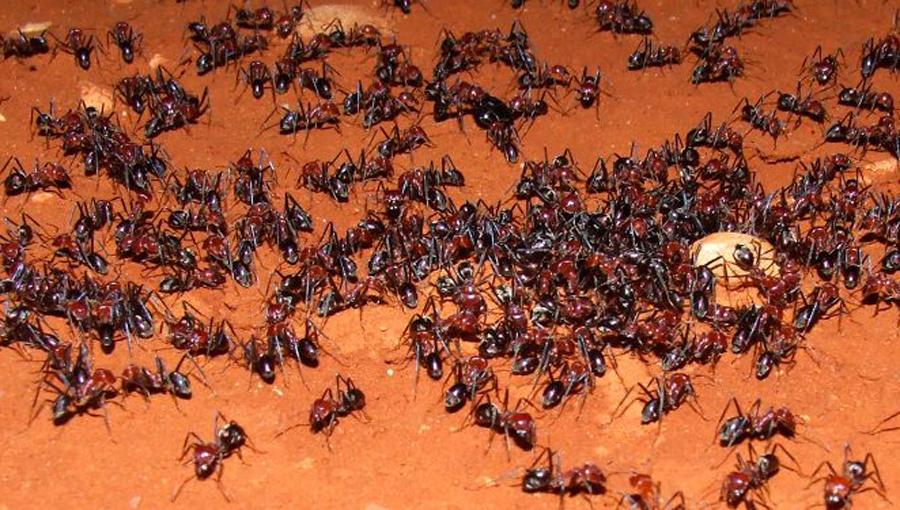 Colonia de hormigas salva a adolescente de ser violada | El Imparcial de Oaxaca