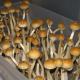 EU ahora busca legalizar cultivo y consumo de hongos alucinógenos